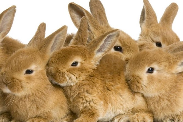 rabbit-breeding2