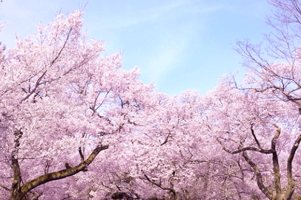 cherry-blossoms-forecast2