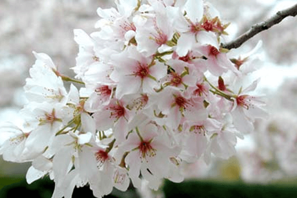 cherry-blossoms-forecast4